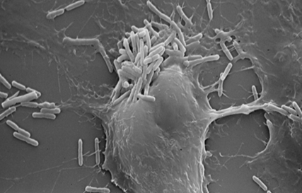 Microscopie électronique d'une microcolonie bactérienne formée sur un tapis cellulaire.