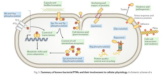 PTMs retrouvées chez les bactéries.